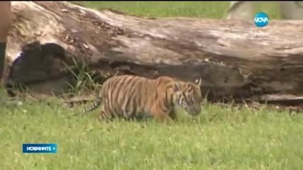 Показаха малко суматранско тигърче пред публика