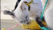 Тайландски котки Корат обичат царевица