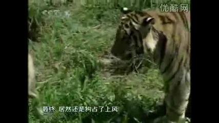 Турски кангал живее сред лъвове и тигри