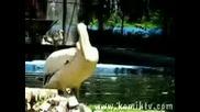 пеликан и голям залък