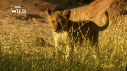 Съюзът между бабуините и лъвовете