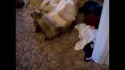котешка атака приложена на търпеливо куче