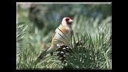 Jilguerogoldfinch, (carduelis carduelis)