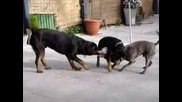Rottweilers Vs Irishstaff Tug Of War