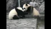 малки панди се боричкат