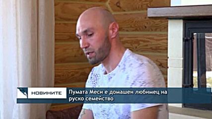 Пумата Меси е домашен любимец на руско семейство