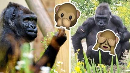 Горила в зоо парк развъртя неприлични жестове към посетители