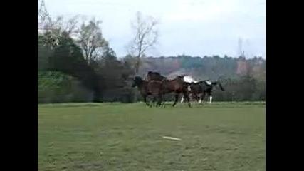 Mcnaughton Horses Running!!!