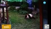 Мъж влезе в клетката на панда, тя го нападна (ВИДЕО)