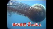Рекордите на Гинес - Гигантска Медуза