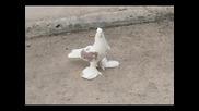Турски Гълъби Малатйа