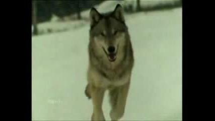 Вълкът Никога Неплаче !!