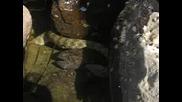 Змия Удавя Попче На Черноморието