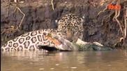 Ягуар срещу кайман