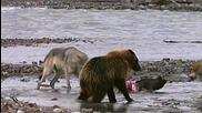 Мечка гризли срещу 4 гладни вълка в борба за плячка