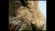 Walking with Beasts - Ep 5 - Sabre Tooth - Part 3 of 3