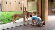 Мъж се забавлява с лъвове в зоопарк!
