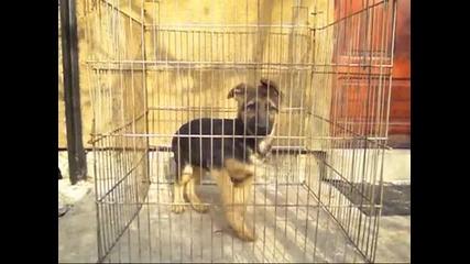 Развъдник за Немско овчарско куче продава мъжкo кученцe на 3 месеца внуk на Quenn vom L