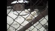 Алабай - Сао - Средноазиатска овчарка - Атман - 28 - 01 - 10