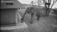 Камера заснема как слон поставя разпилян боклук в кошчето