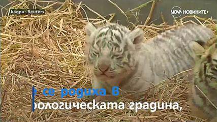 Застрашените видове се увеличават и два бенгалски тигъра се родиха в Перу
