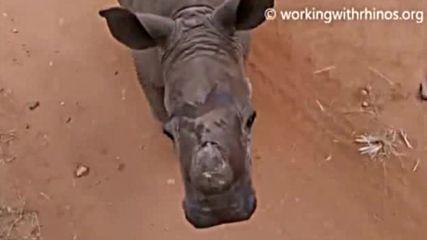 Бебе носорог се мисли за куче