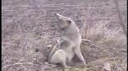 Ранен вълк напада спасителя си !