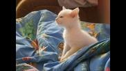 Малко Бяло Коте