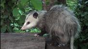 Virginia Opossum Hd