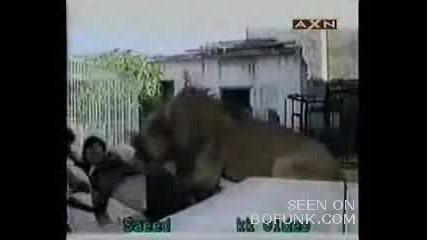 Лъв Захапва Ръката На Човек