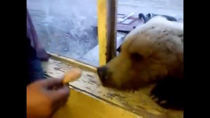 Луди руснаци хранят мечка на прозореца .