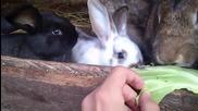 Зайци похапват зеле rofl