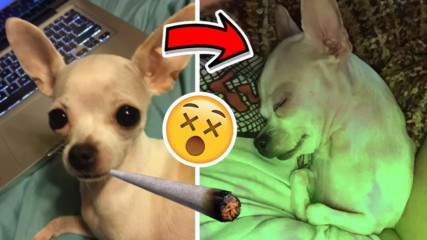 Куче предозира с МАРИХУАНА, почна да се държи твърде странно