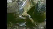 Огромна Змия Гълта Кайман