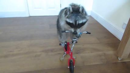 Сладък енот кара колело