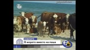 Крави на море