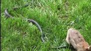 Заек се бие със змия, за да спаси малките си !!! - Original Video
