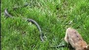 Заек се бие със змия, за да защити малките си