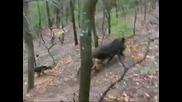 lov na diva svinq s kopoy