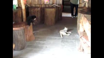 Маймуна закача Котка