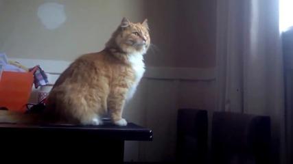 Котка се проваля при опит за скок!