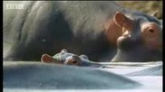 Бебета Хипопотами