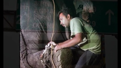 Слон плаче, след като го освобождават от 50-годишен плен