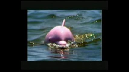 Красивото Розово Делфинче