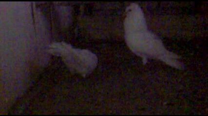 Паламарски Гълъб [ beyaz ]- На Топи