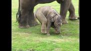 Сладко слонче прави своите първите стъпки ..