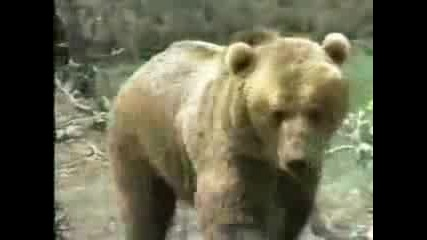 Animal Face Off - Puma Vs Bear