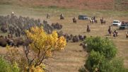USA: Cowboys herd over 1000 buffalo in annual roundup
