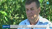 Жандармерията пази черешите в Кюстендилско