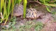 Любов между две костенурки